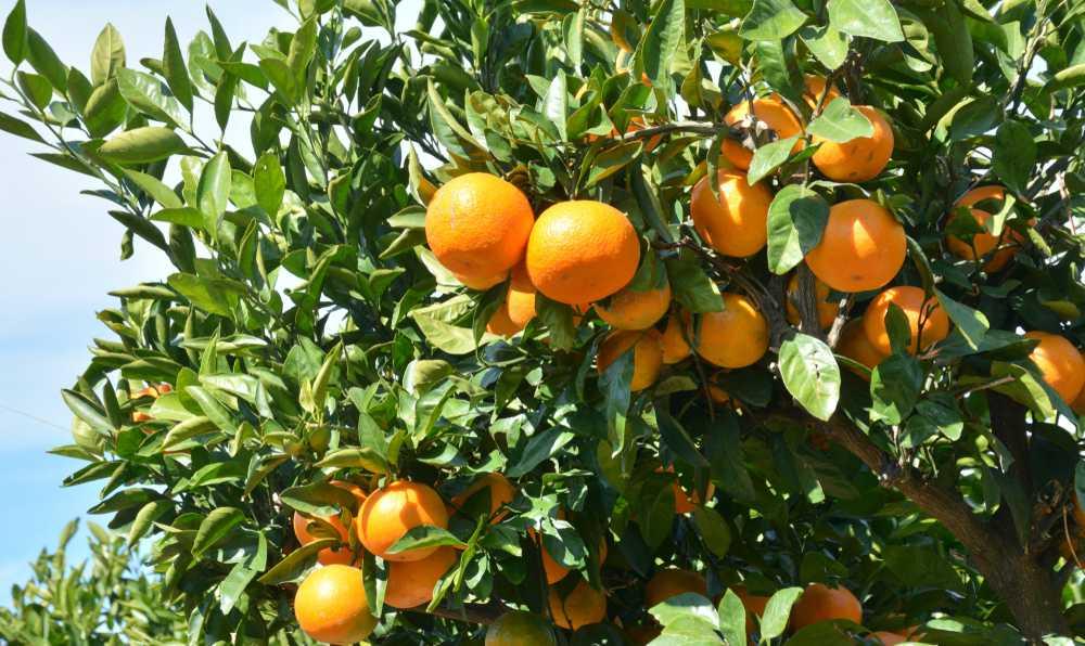 portakal nasil yetistirilir