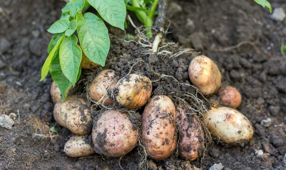 patates nasil yetistirilir